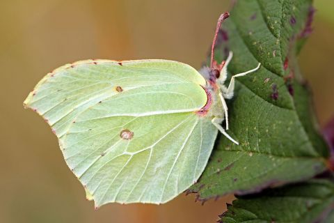 By nottsexminer (Brimstone Butterfly  Uploaded by Fæ) [CC BY-SA 2.0 (http://creativecommons.org/licenses/by-sa/2.0)].