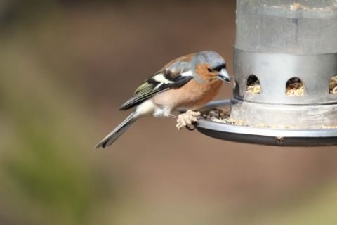 Chaffinch at feeder (Luke Delve)