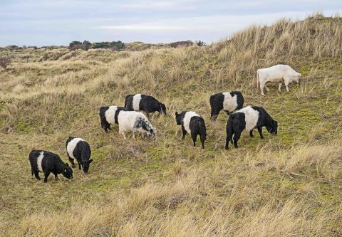 Belted Galloways at Ainsdale LNR