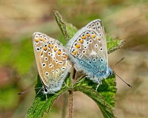 Common Blue pair at Ravenmeols (Dr Phil Smith)