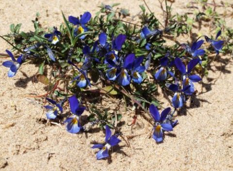 Dune Pansy (Phil Smith)