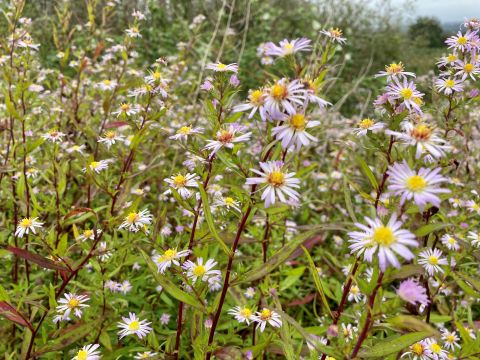 Michaelmas daisies, Childwall Woods and Fields LWS