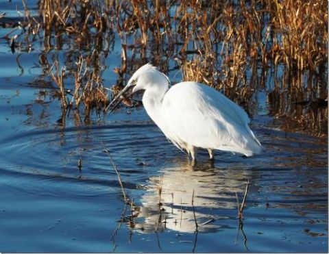 Little Egret (Phil Smith)