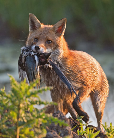 A Fox with a Magpie. Photo Credit: Tony McLean