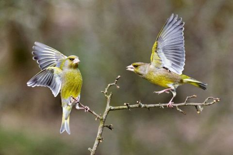 Greenfinches by Edmund Fellowes