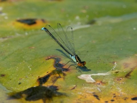 Male Small Red-eyed Damselfy, Lee Park Golf Course by Steve Young