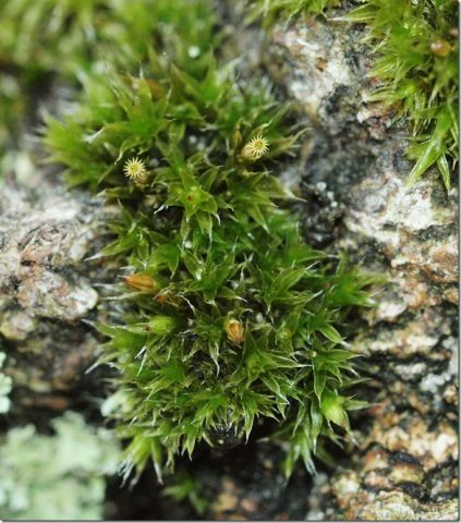 White-tipped Bristle-moss (Dr Phil Smith)