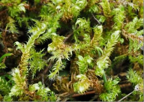 Pseudocalliergon lycopodioides (Dr Phil Smith)