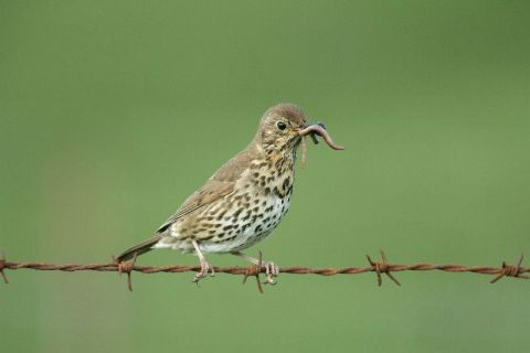 Song Thrush by Edmund Fellowes