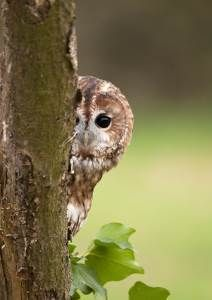 Tawny Owl (Howard Stockdale)