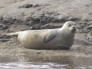 Common Seal, Alt Estuary (Dr Phil Smith)