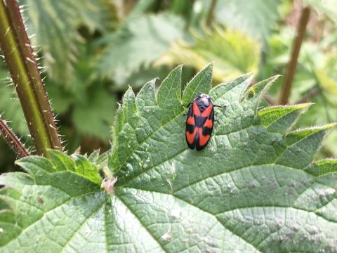 Cercopis vulnerata (Croxteth Park Volunteer Group)