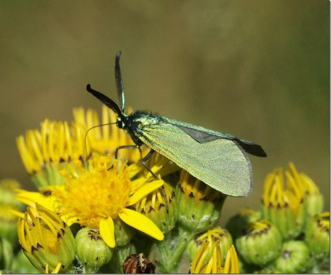 Forester Moth (Dr Phil Smith)