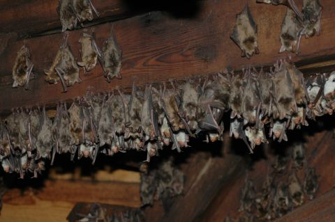 Greater mouse- eared bat at Ratkova