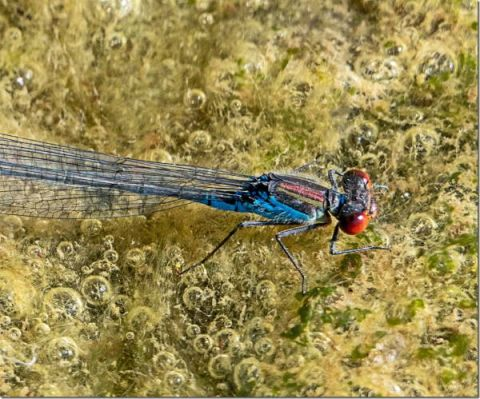 Small Red-eyed Damselfly (Dr Phil Smith)