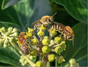 Three Ivy-bee at Crosby (Dr Phil Smith)