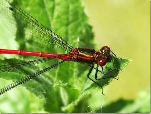 Large Red Damselflies (Dr Phil Smith)