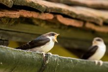 House Martin by Tom Streeter