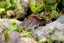 Bank vole by John Harding