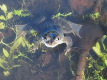 Common Frog at Freshfield Dune Heath (Phil Smith)