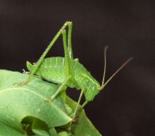 Speckled Bush-cricket (Phil Smith)