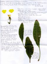 Notes on Oenothera hybrid (Phil Smith)