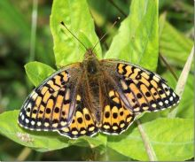 Dark green fritillary (Phil Smith)