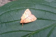 Orange Sallow - Tiliacea citrago (Damian Young)