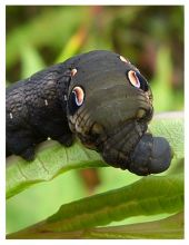 https://snhg.wordpress.com/2012/08/03/deilephila-elpenor-elephant-hawk-moth-caterpillar/