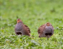 Grey Partridges by Allan Drewitt