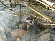 Frogs at Court Hey Park (Ben Deed)