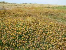 Kidney Vetch, New Green Beach (Dr Phil Smith)