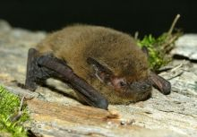 Kuhl's Pipistrelle by Stazione Teriologica Piemontese