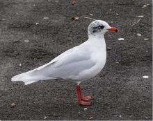 Mediterranean Gull, Southport Marine Lake (Phil Smith)