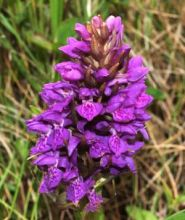 Northern Marsh Orchid (Dr Phil Smith)