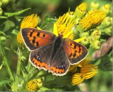 Small Copper (Dr Phil Smith)