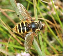 Sericomyia silentis (Phil Smith)