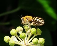Ivy Bee, Colletes hederae (Dr Phil Smith)