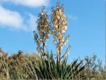 Yucca (Dr Phil Smith)