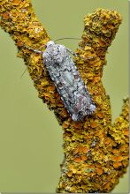 Portland Moth on Lichen (Phil Smith)