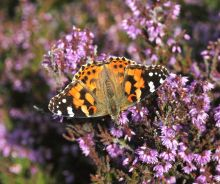 Painted Lady (Dr Phil Smith)