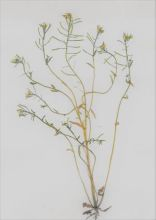 Thale Cress (Rob Duffy)