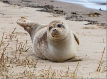 Common Seal, Alt Estuary (Photo: Dr Phil Smith)
