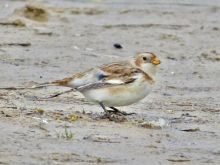 Snow Bunting Ainsdale Beach, Pete Kinsella