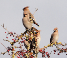Waxwings at Range Lane (Phil Smith)