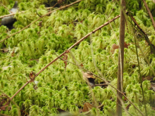 Zoomed in image of the spiky bog-moss (Sphagnum squarrosum)
