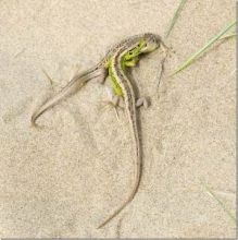 Sand Lizards (Dr Phil Smith)