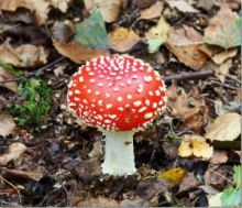 Fly Agaric (Dr Phil Smith)