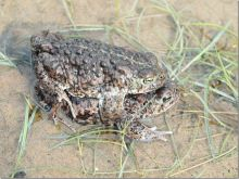 Natterjack Toad (Dr Phil Smith)