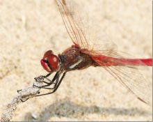 Red-veined Darter (Dr Phil Smith)